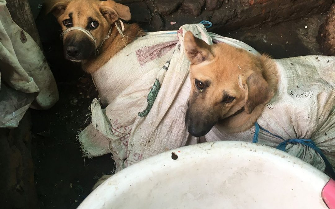 Dog Meat Culinary Tradition, Will it Transmitting Rabies?