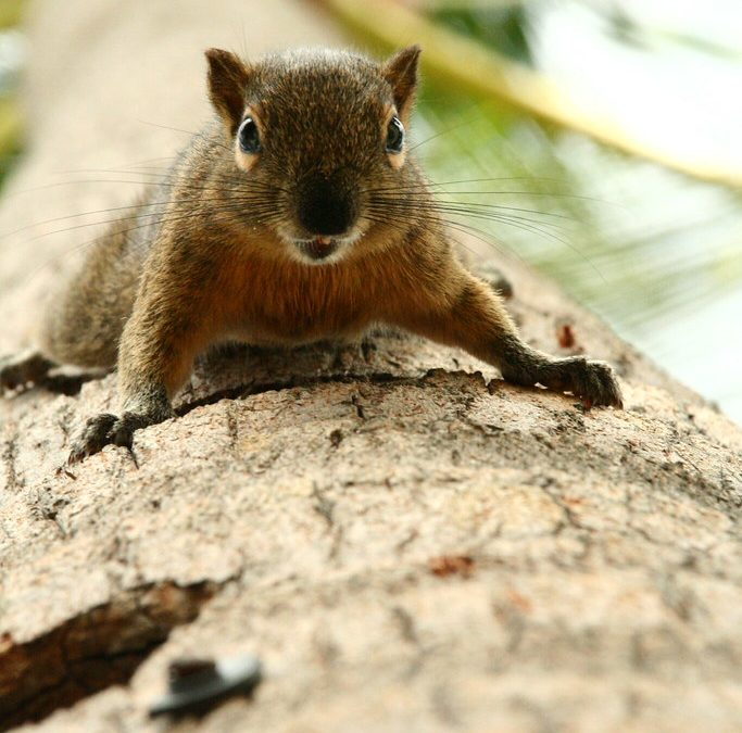 HOW DOES A SQUIRREL CAN BE INFECTED BY RABIES?